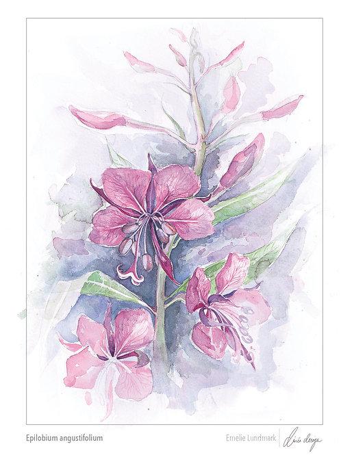 Epilobium augustifolium