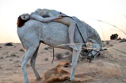 'Arabian Horse'