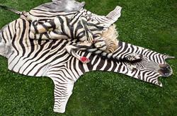 'Zebra Hide'