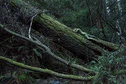 'Redwood Forest'
