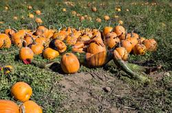 'Pumpkin Harvest'