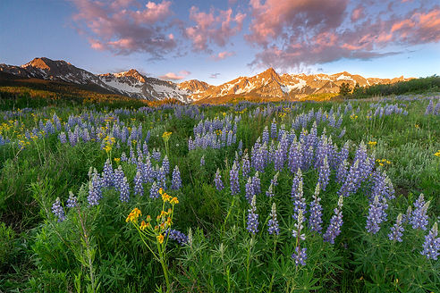 Lupines and Yellow Flowers IV_DSC0962-2_