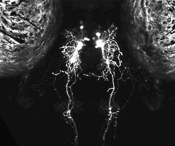 hcrt neurons in zebrafish larva