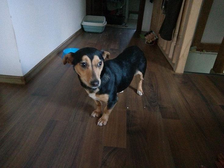 Cleo, one year, dachshund type