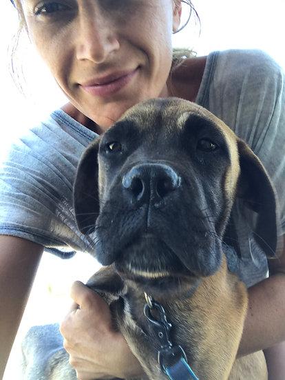 Dizzy, bull mastiff, 8 months