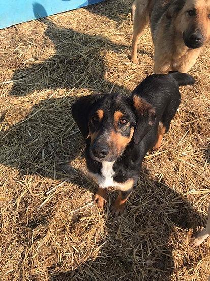 Ringo - 2 years old, spaniel sized, loving dog