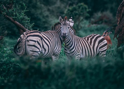 no zebras 1.jpg