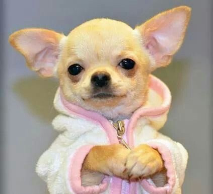 La Parabole du Chihuahua et du Pitbull…