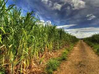 Producción de Caña de Azúcar logrará cubrir el 100% de la demanda del mercado nacional durante el 20