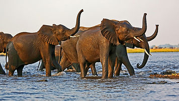 Elephants crossing Chobe.jpg