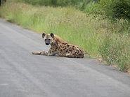 Rhino Safaris Hyena KNP