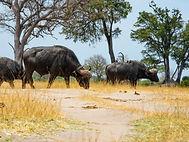 Eine Herde Büffel zieht auf Safari vorbei.