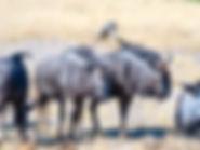 Blick auf eine Herde Gnus auf der Safari Simbabwe.