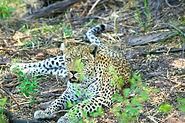 Rhino Safaris Khwai Leopard