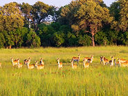 Rhino Safaris Khwai Red Lechwe