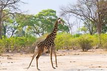 Eine Giraffe in der Wildnis Afrikas.