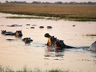 Eine Herde Flusspferde badet im Wasserloch.