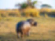 Ein Nilpferd auf der Safari Sambia.