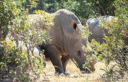 Nashornherde in der Wildnis des Kafue Nationalparks.