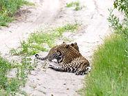 Rhino Safaris Leopard