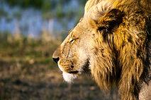 Majestätisch blickt der Löwe in die Steppen Afrikas.