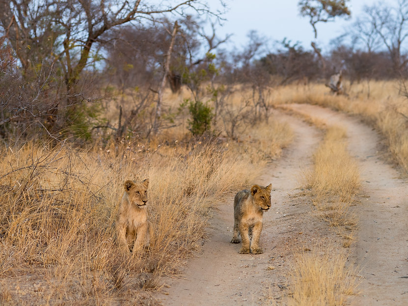 Rhino Safaris Lions Timbavati