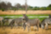 Eine Herde Zebras streift durch die Steppen auf der Camping Safari Botswana.