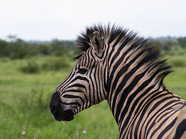 Rhino Safaris Zebra KNP