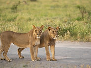 Rhino Safaris Central Kalahari Lions