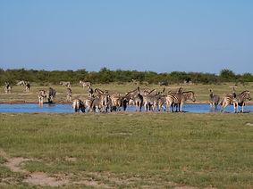 Zebra Migration 19