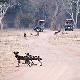 Safari Tour durch den Kafue Nationalpark.