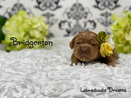 bridgerton 2 wks