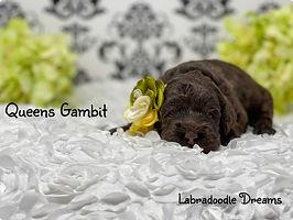 queens gambit 2 wks