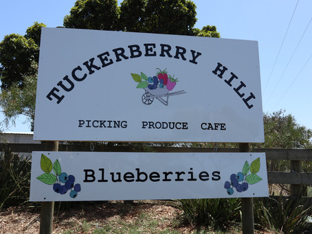 Tuckerberry Hill Berry Picking