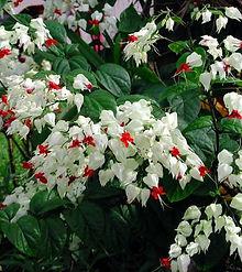 Clerodendrum thomsoniae 11.jpg