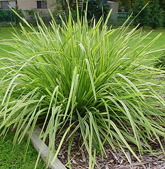 lomandra longifolia.jpg