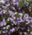 Brunfelsia latifolia (3).jpg
