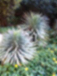Yucca desmetiana.jpg