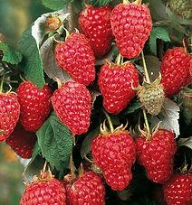 raspberry tullamine.jpg
