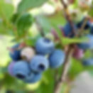 blueberry brightwell.jpg