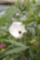 Native Hibiscus.JPG