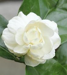 Jasminum sambac (2).jpg