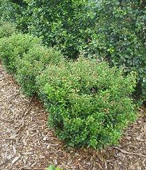 Syzygium australe Tiny Trev.jpg