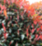 Photinia Red Robin.JPG