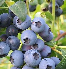 blueberry biloxi.jpg