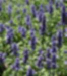 Salvia Velocity Blue (3).jpg