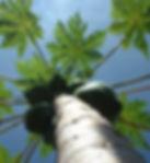 Paw Paw tree.jpg