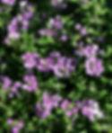 VERLAN purple star.jpg