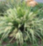lomandra hystrix.jpg