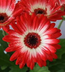 Gerbera flower.JPG